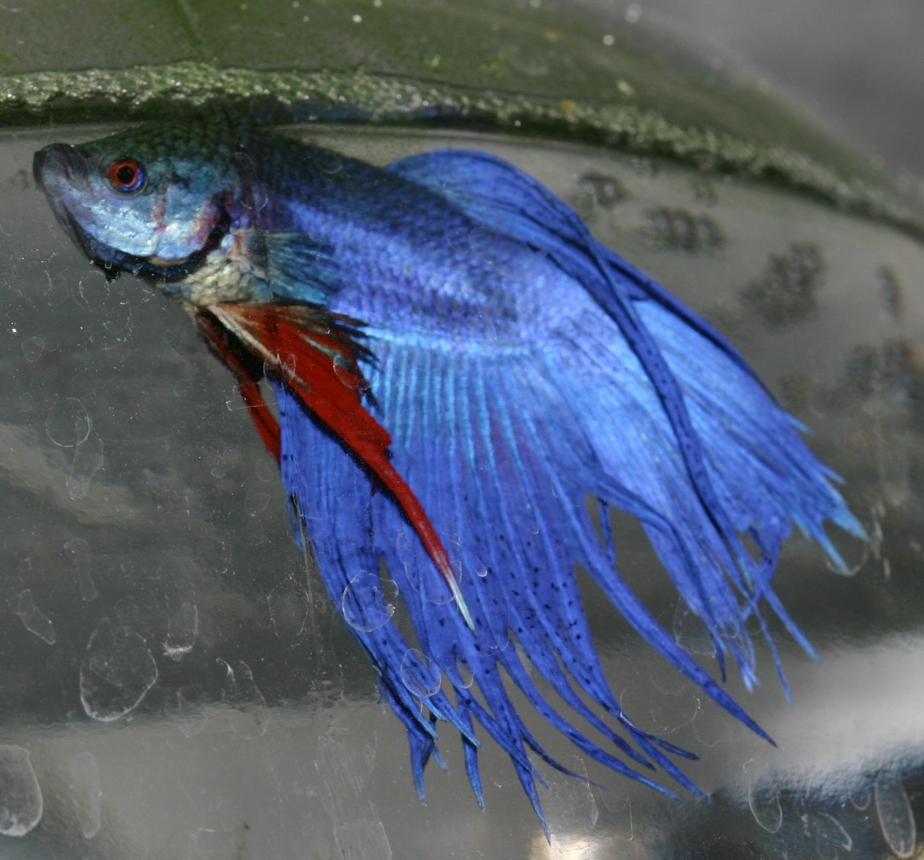 Crowntail betta splendens hĂm kĂŠk